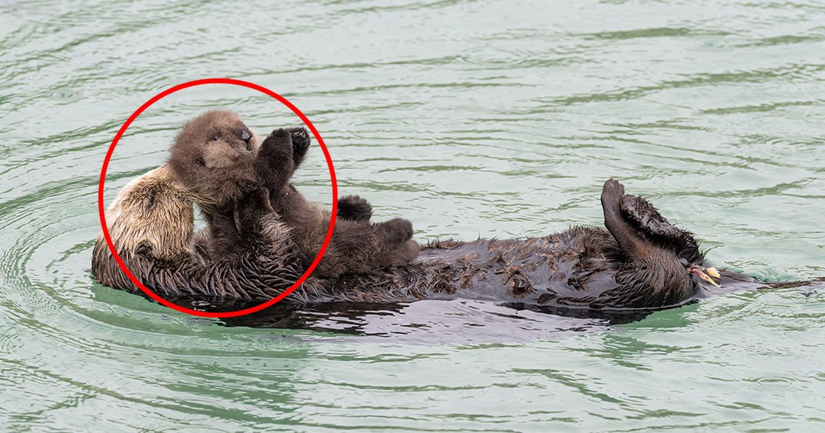 untitled 1 158.jpg?resize=1200,630 - Wild Sea Otter Gives Birth At An Aquarium, What Happened Next Will Make Your Day