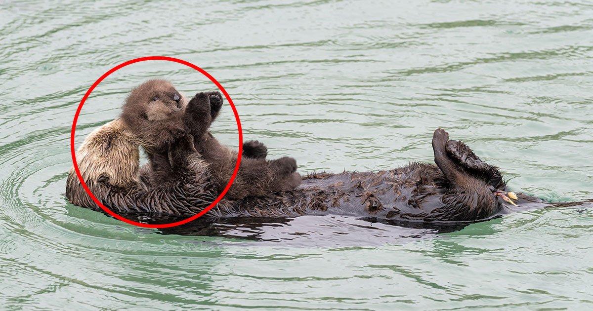 untitled 1 158.jpg?resize=574,582 - [Vidéo] Instant mignon entre une loutre sauvage et son nouveau-né.