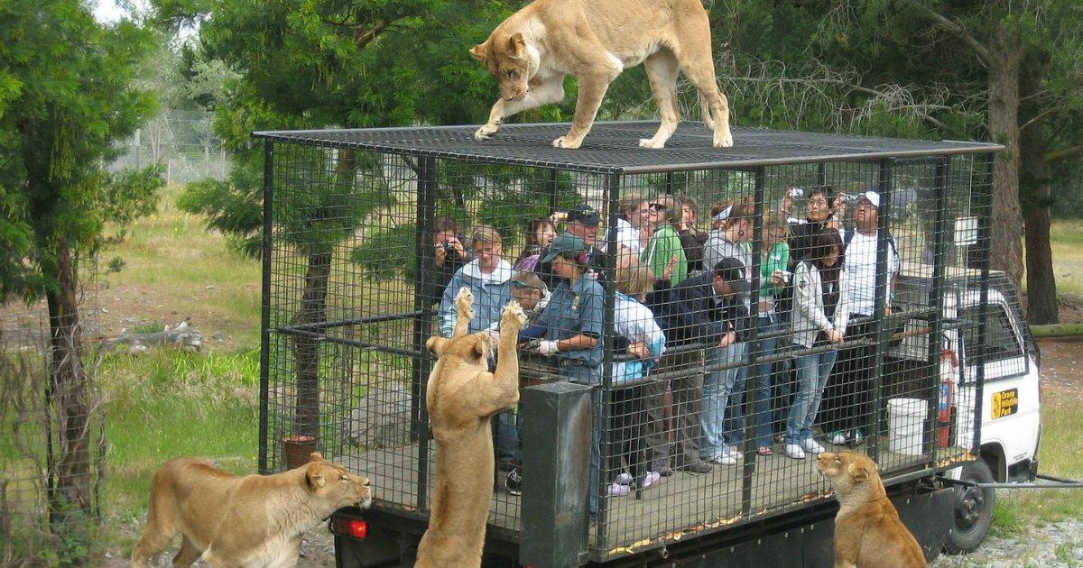 untitled 1 41.jpg?resize=1200,630 - Inversão de papéis: Um zoológico onde os seres humanos ficam em uma gaiola e são os leões que os observam
