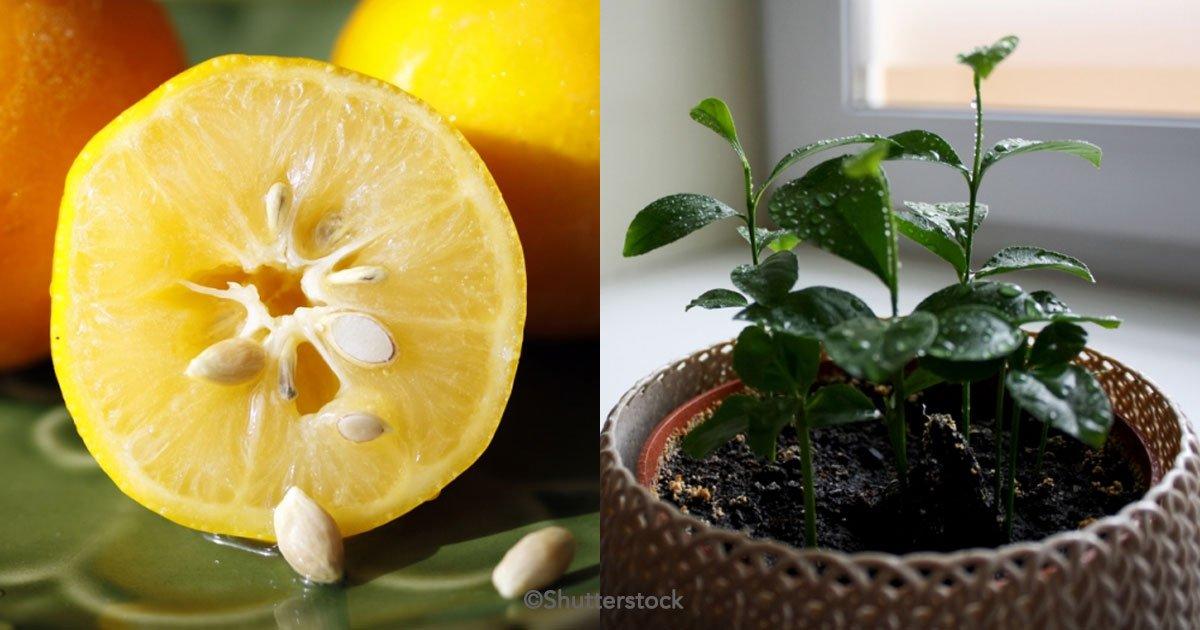 untitled 1 76 - 4 Tips para seleccionar correctamente las semillas de limón y tener tu propio limonero en casa