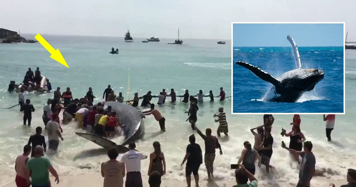 whale - Dozens of People Gathered to Help a Beached Whale Get Back Into the Ocean.