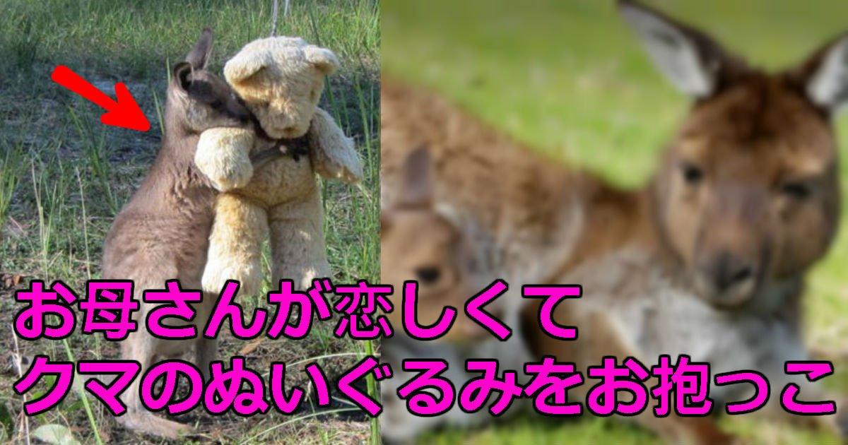 2 162.jpg?resize=1200,630 - 失ったママが恋しくて「クマのぬいぐるみ」を常に抱いている赤ちゃんカンガルー