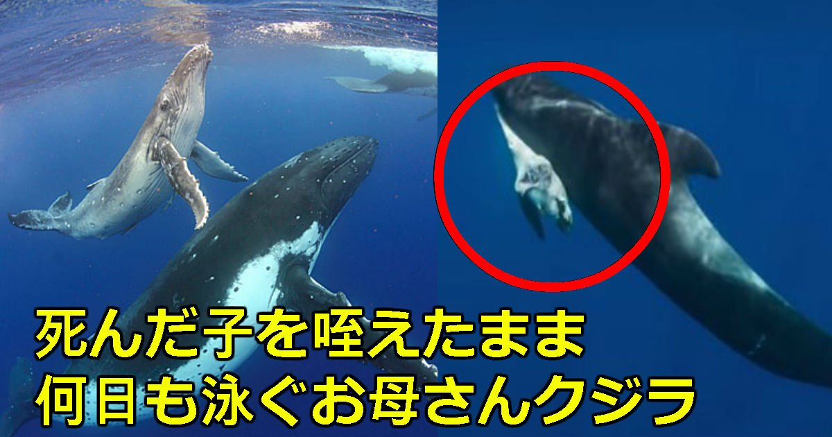 2 201.jpg?resize=412,232 - 目を閉じた子どもを放っておけずに胸に抱きながら泳ぐ「お母さんクジラ」