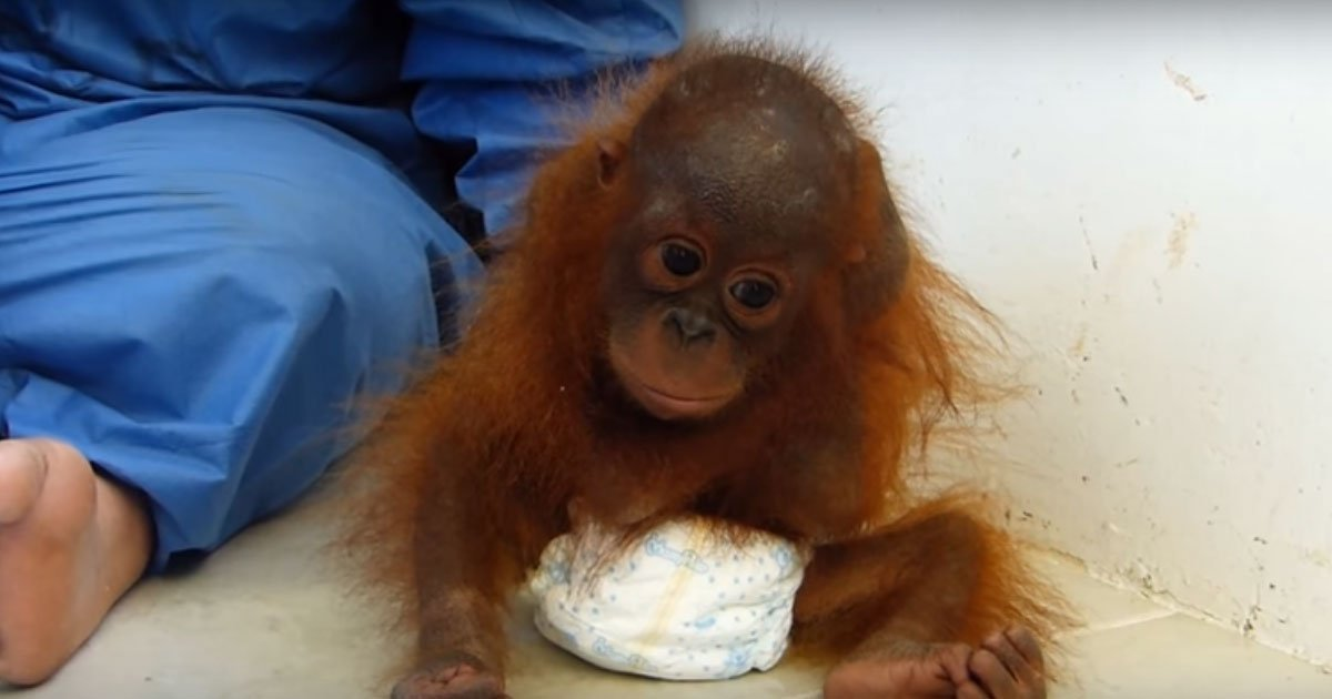 3 137.jpg?resize=1200,630 - Heart-Rending Footage Shows Orphaned Baby Orangutan Who Misses Her Mother So Much She Constantly Hugs Herself