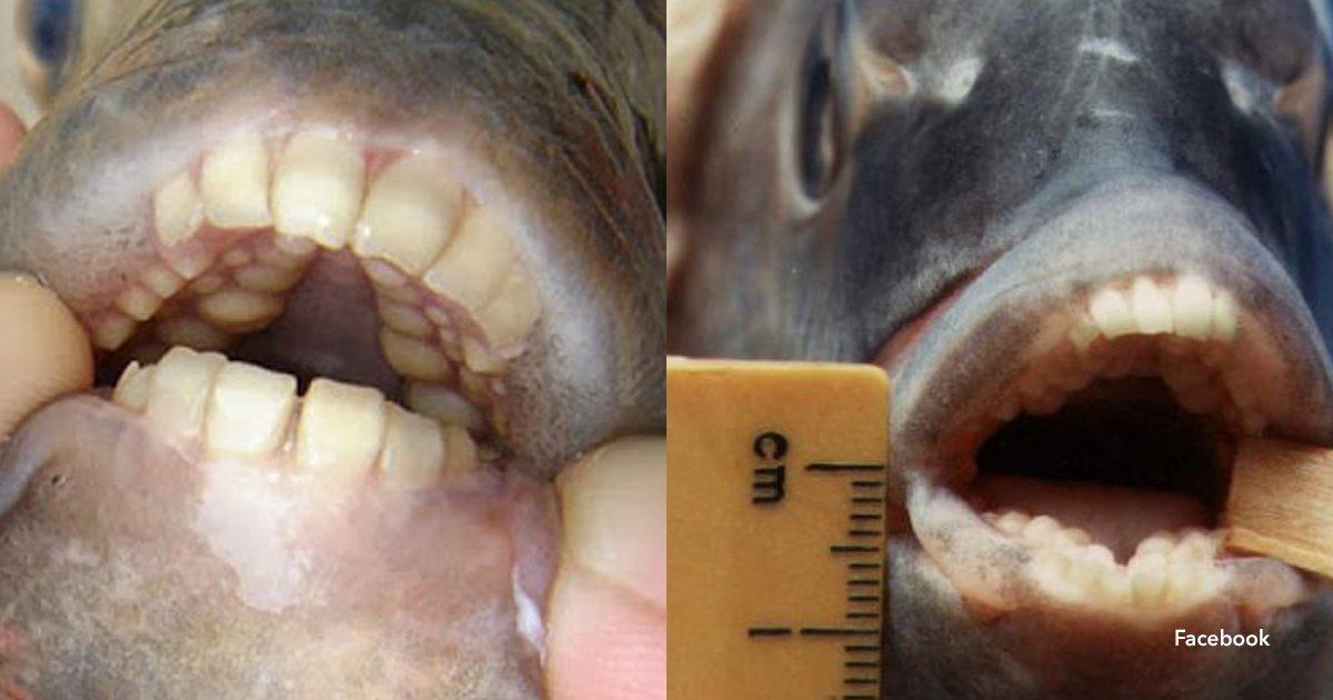 3 cov.jpg?resize=1200,630 - ¡Hallaron un pez con dientes humanos y fue furor en las redes sociales!