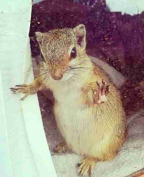 Squirrel saved as a baby