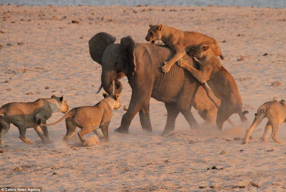 Ride long: l'éléphant tente de continuer à avancer alors que les lionnes se serrent les dents avec les griffes lors de la bataille du coucher du soleil en Zambie