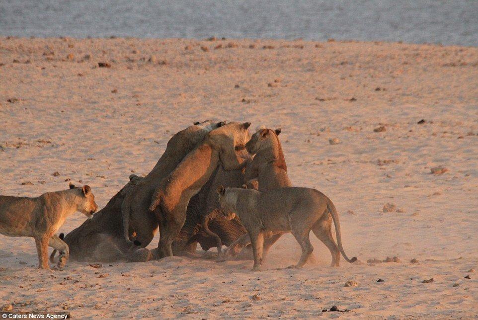 Pack attaque: les lionnes triomphent du bébé éléphant et le mettent à genoux lors du combat dans le parc national de South Luangwa