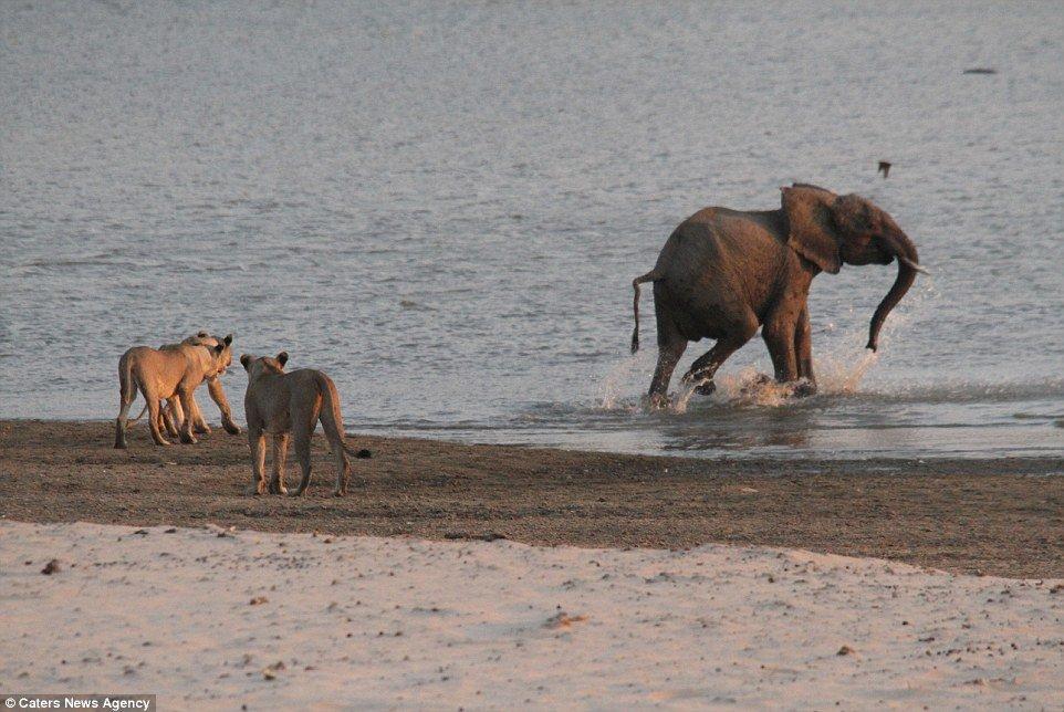 Attrape-moi si tu peux: L'éléphant, enfin en sécurité, fait quelques pas dans le trou d'eau alors que les lionnes en colère regardent