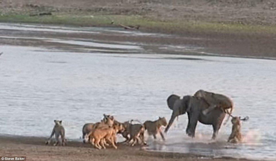 Sports nautiques: une lionne s'accroche au dos des éléphants, tandis que d'autres membres de l'orgueil reviennent du bord de l'eau