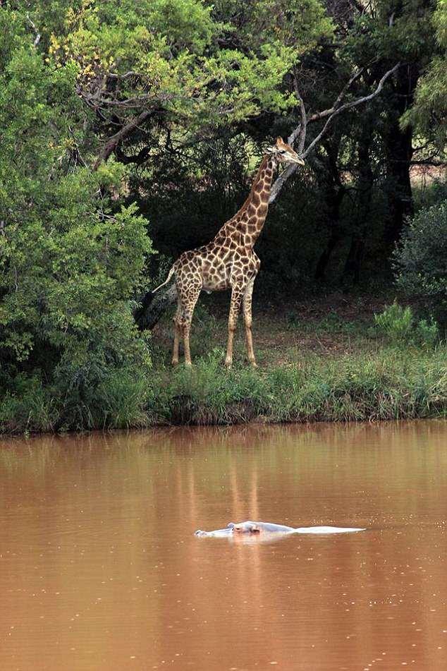 Gerald the Giraffe (pictured) crushed the camera man