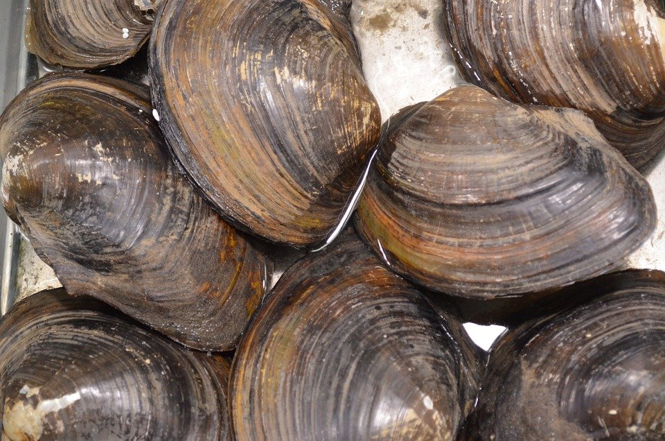 clam pixabay - the image of the image