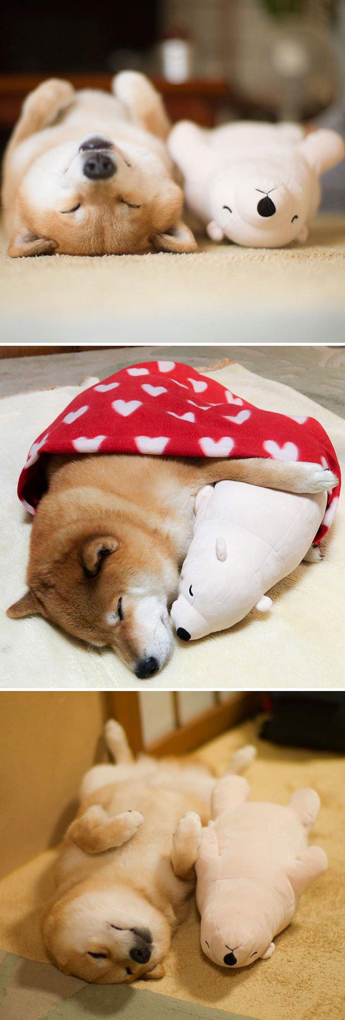 Shiba Inu Maru aime dormir, en particulier avec son petit ourson en peluche