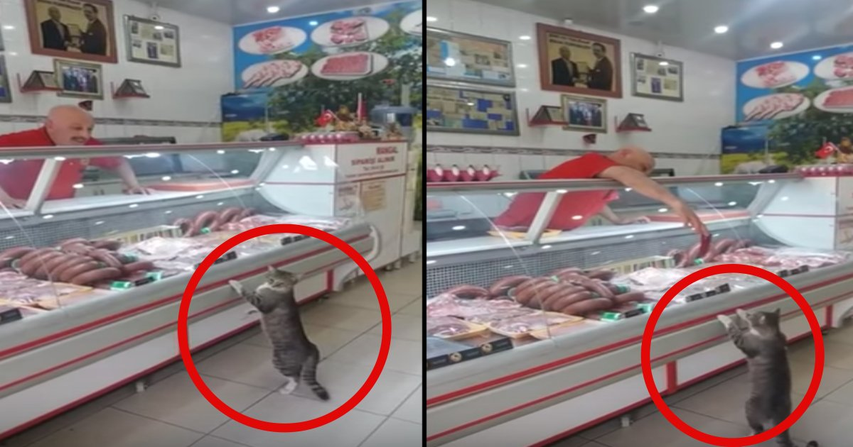 """cat 2.png?resize=412,232 - Cat Goes """"Shopping"""" At A Deli Counter"""