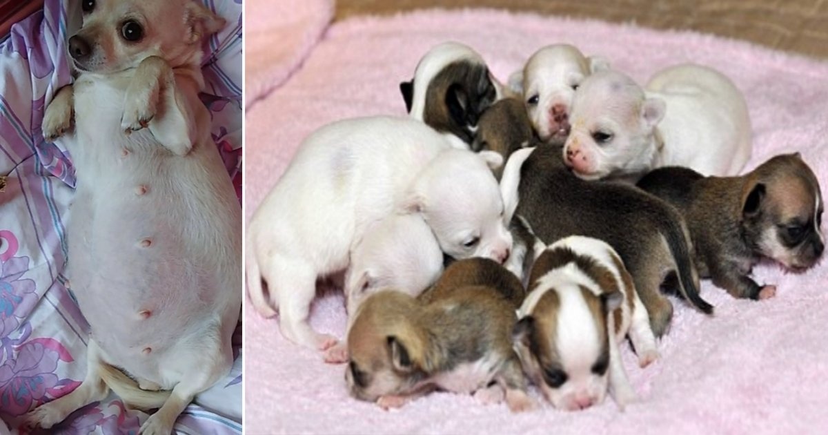 chi side 1.png?resize=412,232 - Pregnant Chihuahua Goes Into Labor And Makes Everyone Stunned—She's Close To The World Record