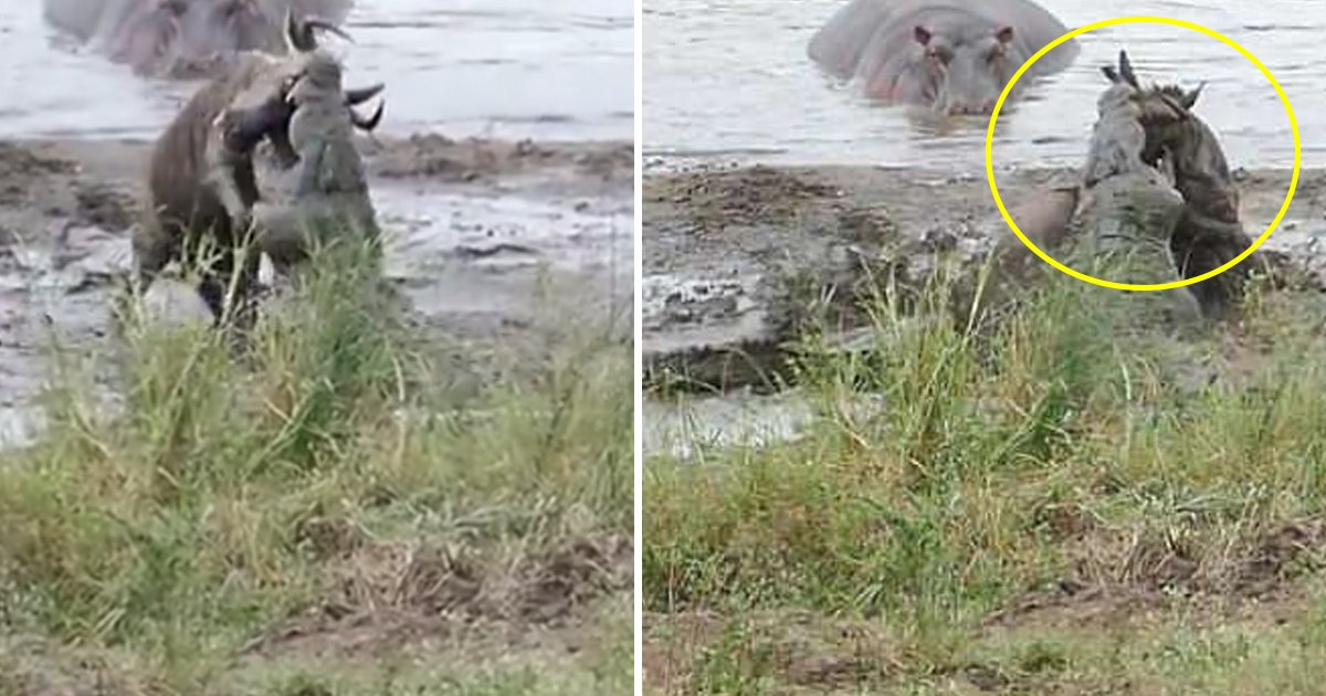 crocodile.jpg?resize=636,358 - Hippos Save a Wildebeest From Crocodiles in Epic Struggle at a Waterhole in South Africa