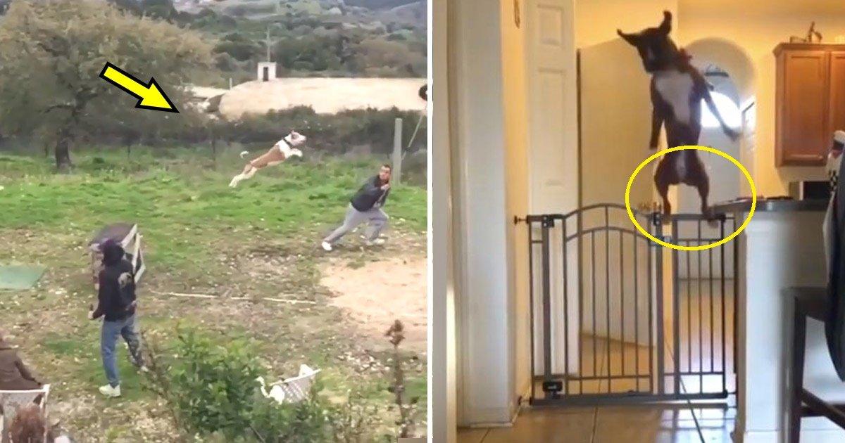 dogs.jpg?resize=300,169 - Voici les animaux sauteurs les plus incroyables du net