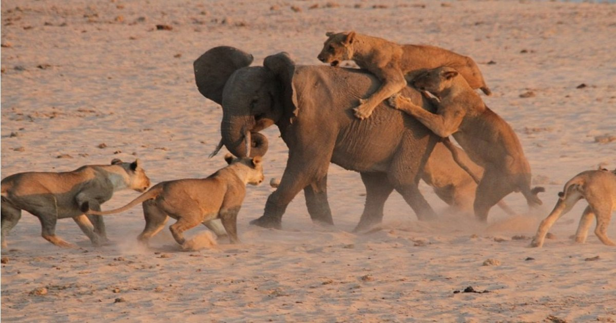 e 2.jpg?resize=648,365 - Baby Elephant Separated From Herd Fights Back 14 Lions—When All Seemed Lost, It Makes One Clever Move