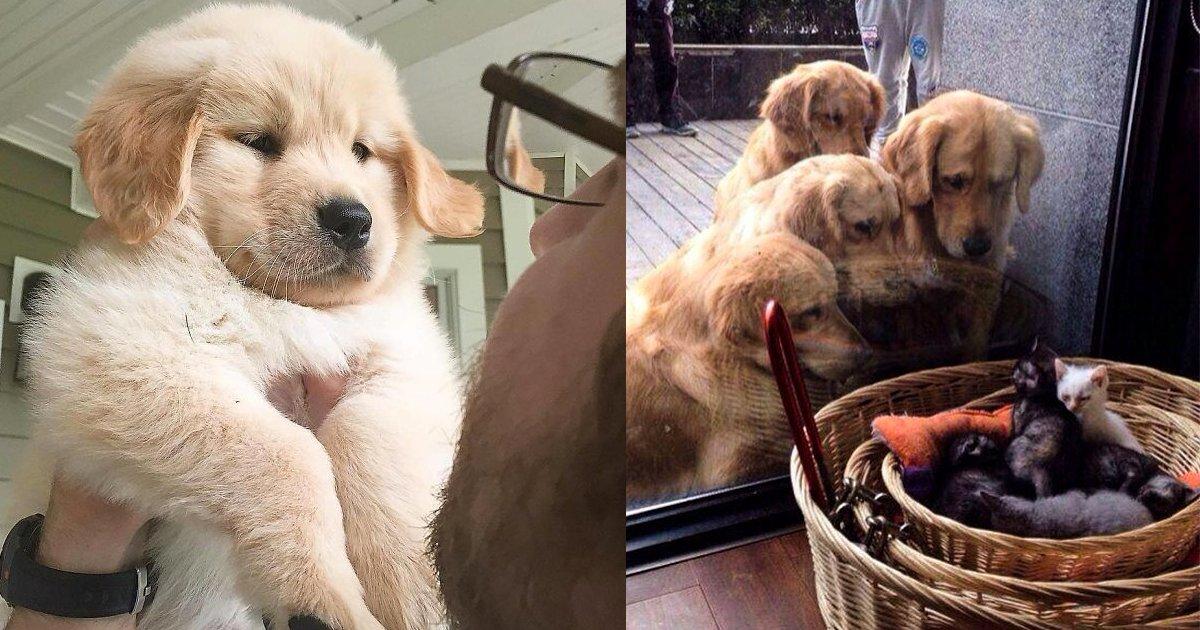 e69caae591bde5908d 1 20.png?resize=1200,630 - 20張照片證明黃金獵犬是你最好的朋友,萌照讓你看到都想養了!