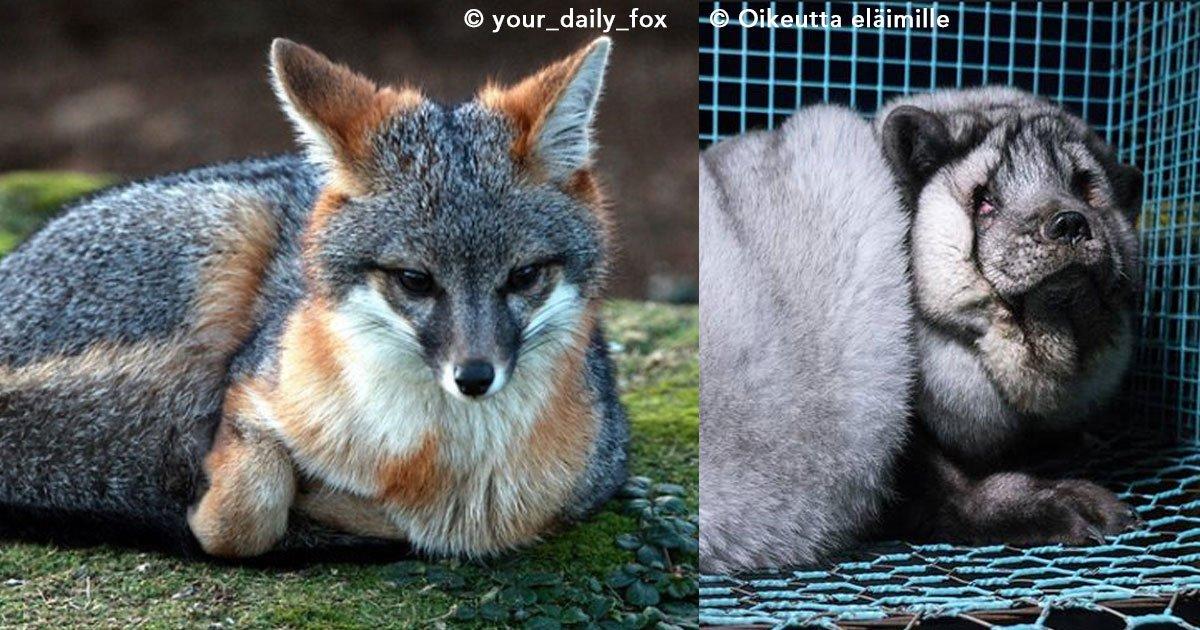fox.jpg?resize=1200,630 - El mundo entero se indigna al ver la tortura que viven los zorros grises en Finlandia para comerciar con sus pieles