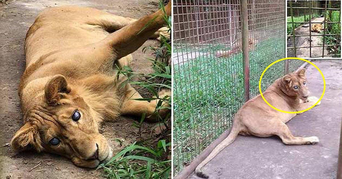 """lion.jpg?resize=1200,630 - Ce lion dans un zoo philippin est aveugle à cause d'une """"erreur de reproduction"""""""