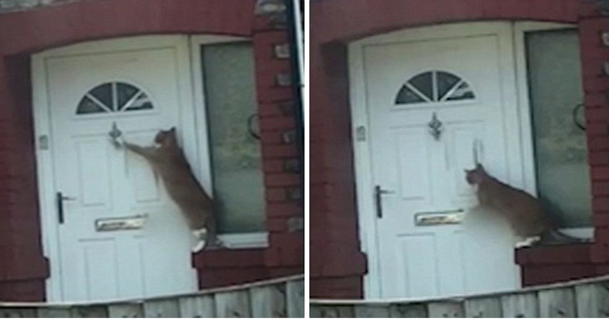 pic copy 2 5.jpg?resize=300,169 - This May Be The World's Most Polite Cat! ItClimbs On LedgeAnd Politely Knocks The Front Door Of The House