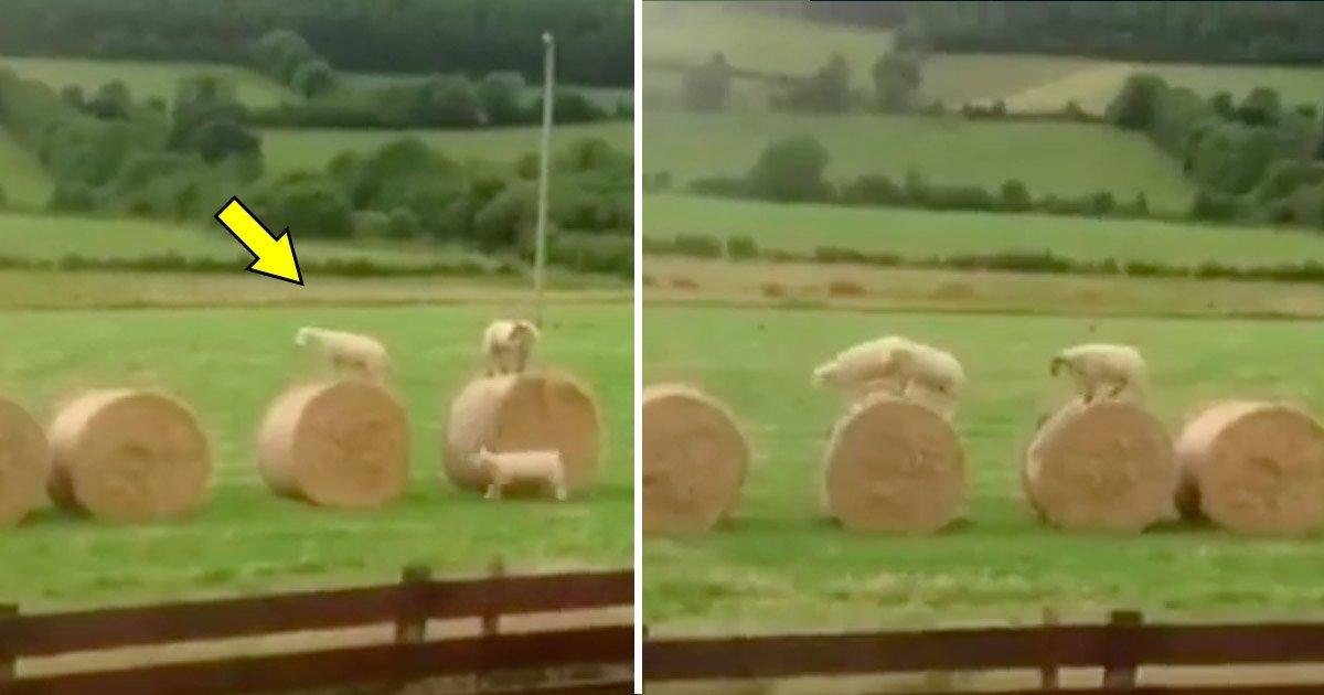 sheep.jpg?resize=1200,630 - Trois moutons regardent des bottes de foin dans un champ — ce qu'ils font ensuite semble très amusant