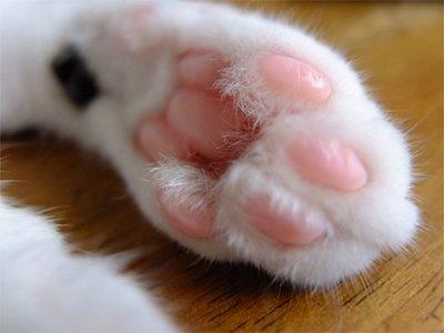 「猫 肉球に汗をかく」の画像検索結果