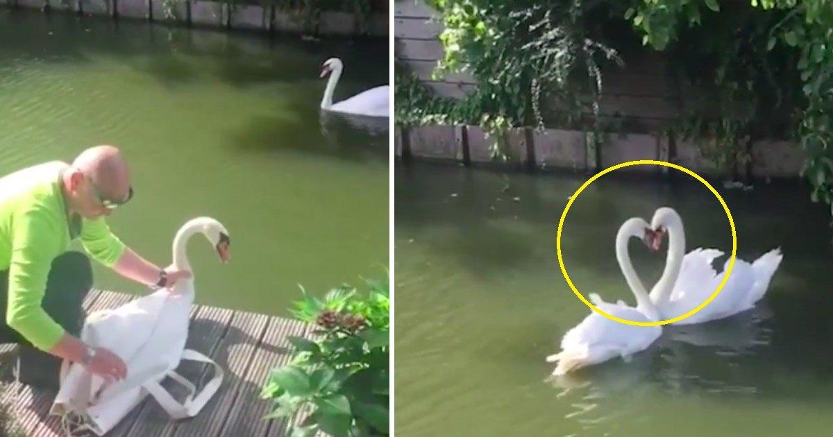 swan.jpg?resize=648,365 - [Vidéo] Seriously Ill Swan Set gratuit après 3 semaines de traitement - La magie se déroule quand il voit son partenaire