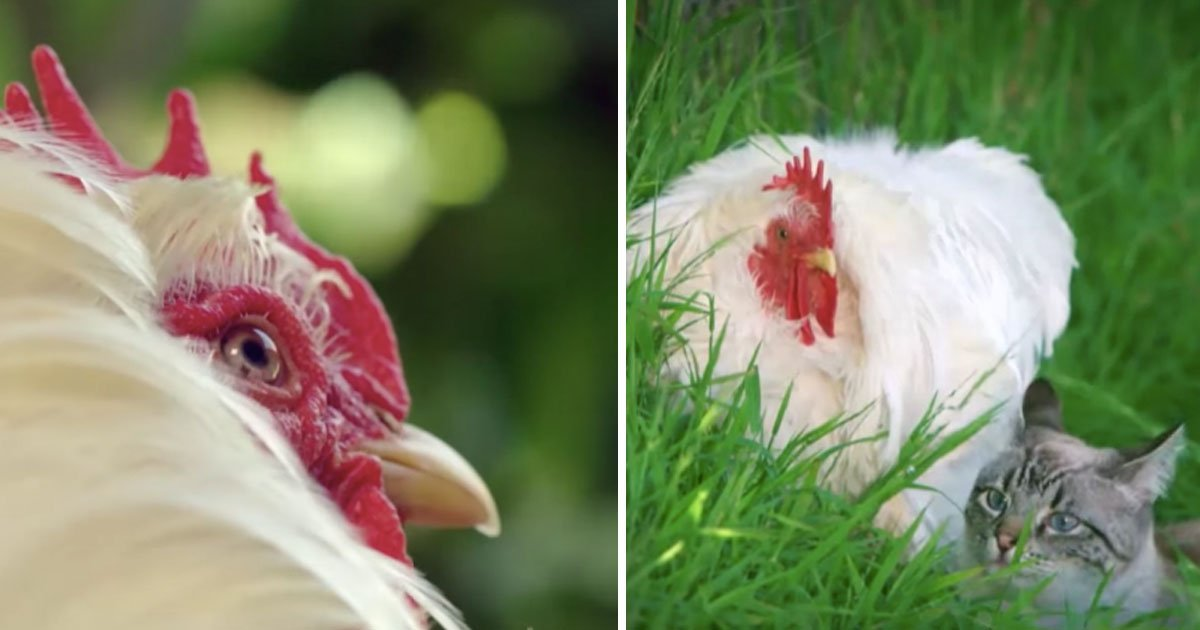 untitled 1 46.jpg?resize=412,275 - Farmers Found Out 'Rooster Doesn't Return To The Coop' Because It Was Bullied