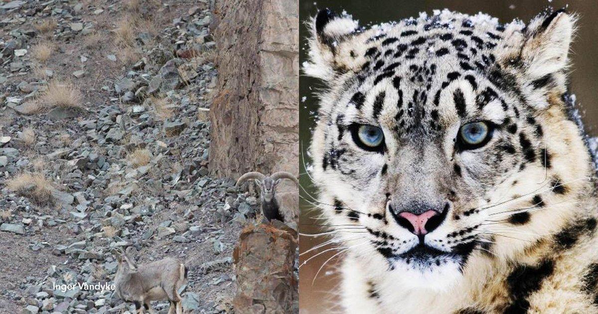 2 co.jpg?resize=648,365 - ¿Acaso puedes encontrar al leopardo camuflado?