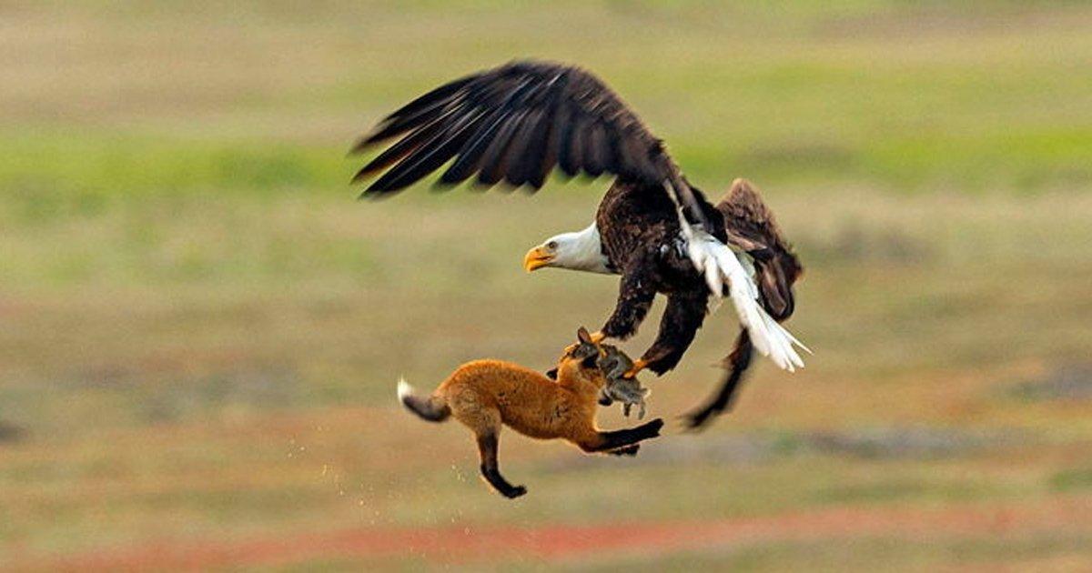 5 10.jpg?resize=412,232 - 어렵게 사냥한 토끼 독수리에게 뺏기자 '허탈한' 표정지은 여우 (영상)