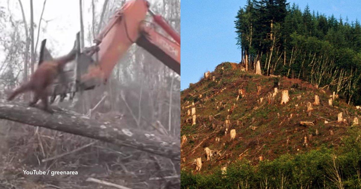 6 cov.jpg?resize=648,365 - Un orangután lucha contra una excavadora que está destrozando su hábitat