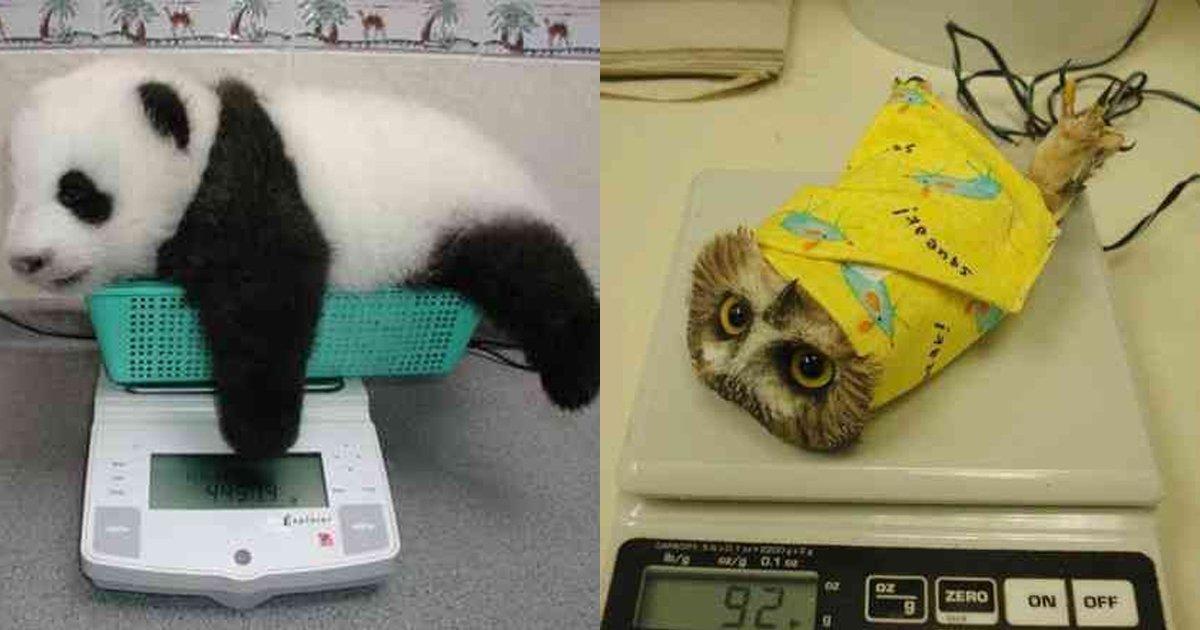 7 21.jpg?resize=1200,630 - 동물들의 심장 아프게 귀여운 체중 측정하는 모습들.jpg