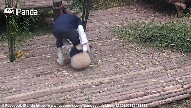 The cute creature holds tightly onto his leg as he ferries bamboo around the enclosure and every time he tries to rid himself of the animal it comes hurrying back for more