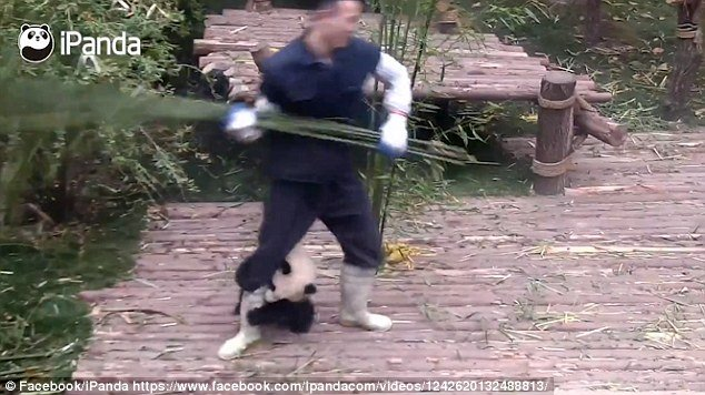 An adorable video shows a panda desperately trying to cling on to a zoo worker as he tries to clean at the Chengdu Research Base of Giant Panda Breeding in Sichuan, China
