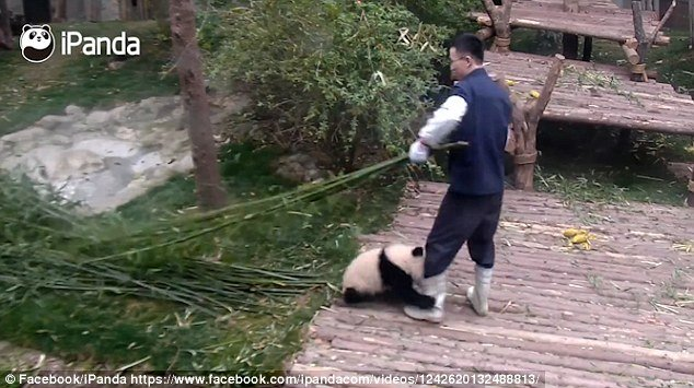 The clip was uploaded to YouTube channel, iPanda - a live panda-cam operated jointly by China Network Television and Chengdu Research Base of Giant Panda Breeding