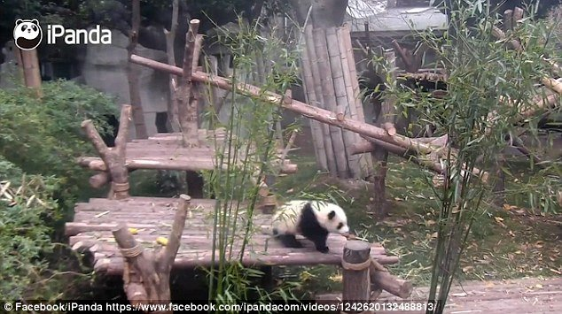 iPanda.com was launched in 2013 to capture all the cute moments of the Chengdu pandas' lives, from every angle