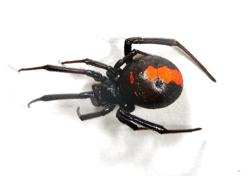 セアカゴケグモ에 대한 이미지 검색결과