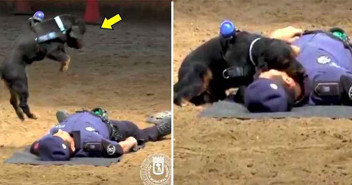 """adfasd.jpg?resize=648,365 - Un chien policier """"sauve"""" la vie de son maitre qui semblait mort"""