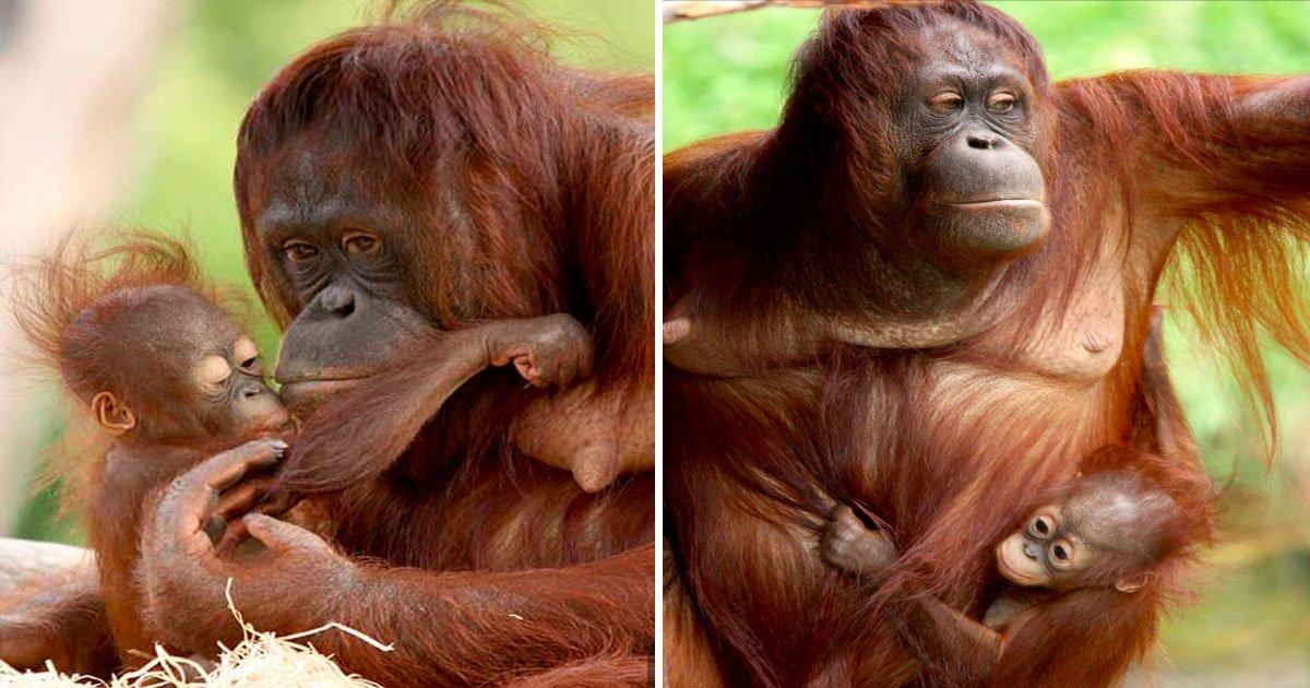 animal 1.jpg?resize=648,365 - Bebê orangotango demonstra o seu forte laço com a mãe ao beijá-la