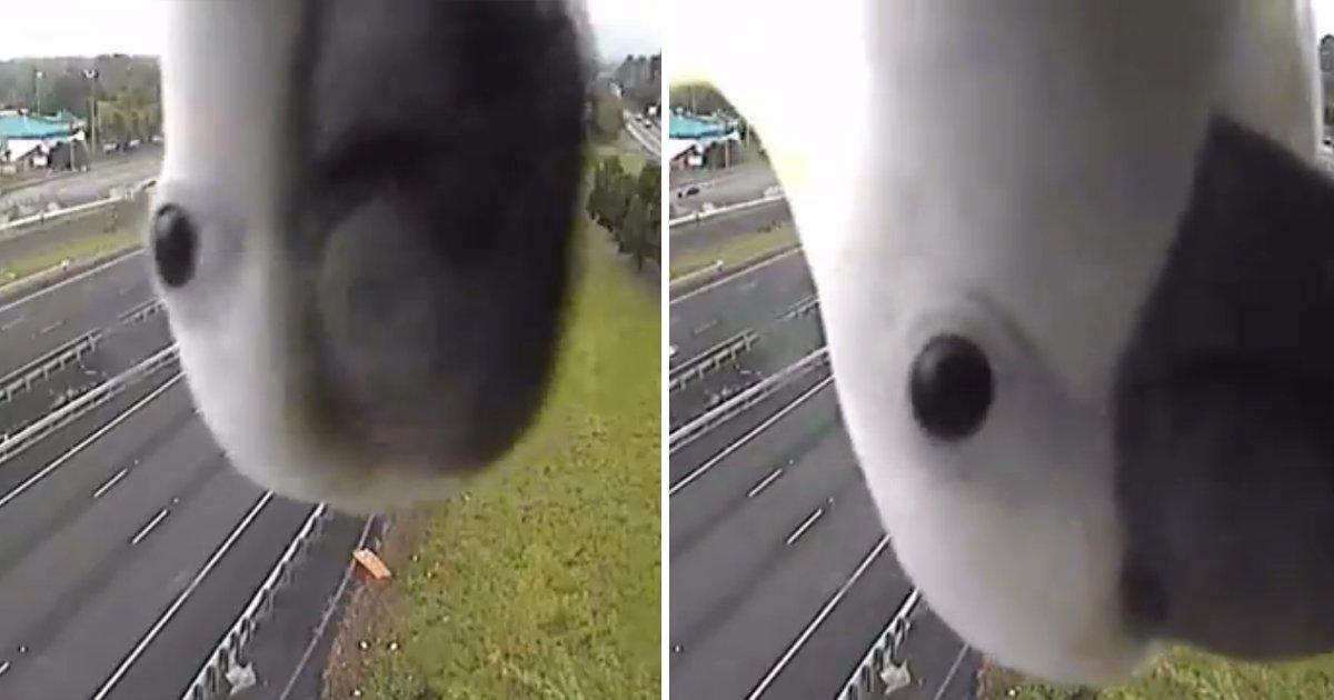 capa13.png?resize=1200,630 - Cacatua fica muito curiosa por seu próprio reflexo em câmera de segurança e vídeo viraliza