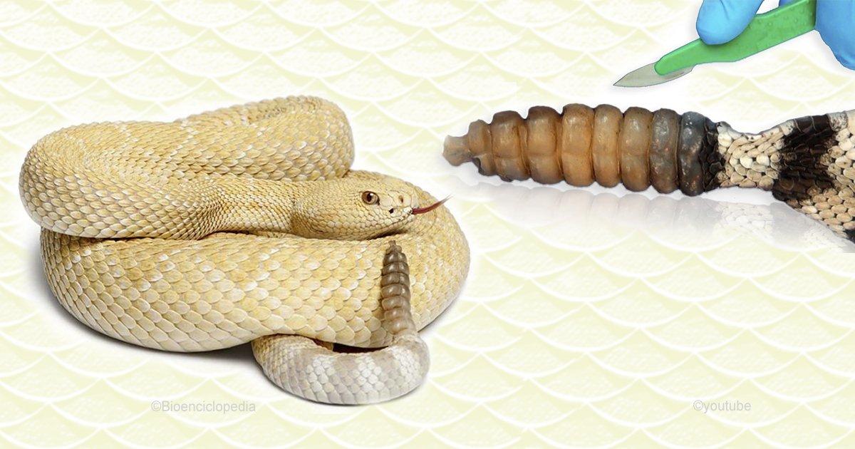casca.jpg?resize=300,169 - Descubre lo que las serpientes de cascabel tienen dentro de la cola