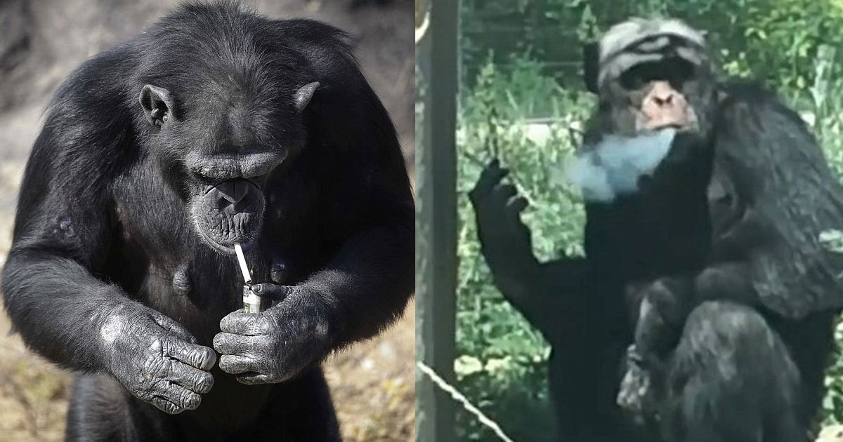 cc.jpg?resize=1200,630 - Chimpanzee Addicted To Smoking Becomes A 'Chain Smoker' As Tourists Throw Lit Cigarettes At Him For 16 Years