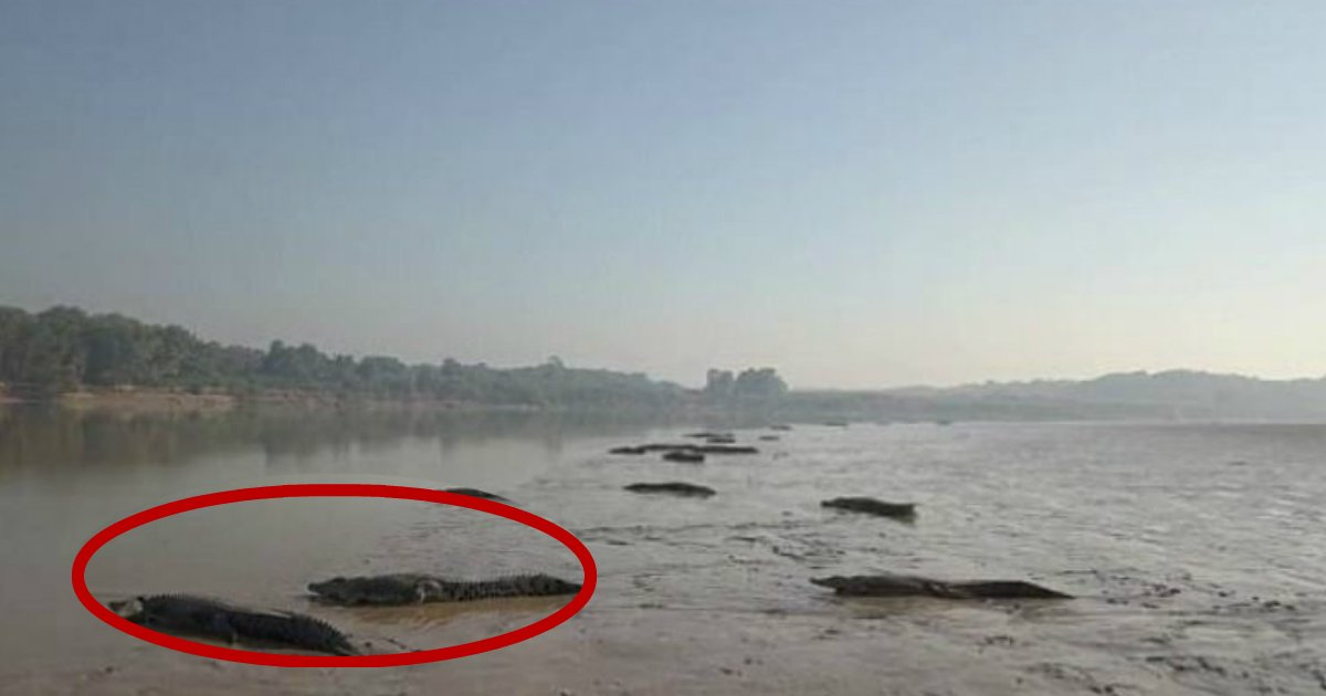 croc sunbake.jpg?resize=412,232 - Terrifying Number Of Deadly Crocodiles Filmed Sunbaking On A Northern Territory River