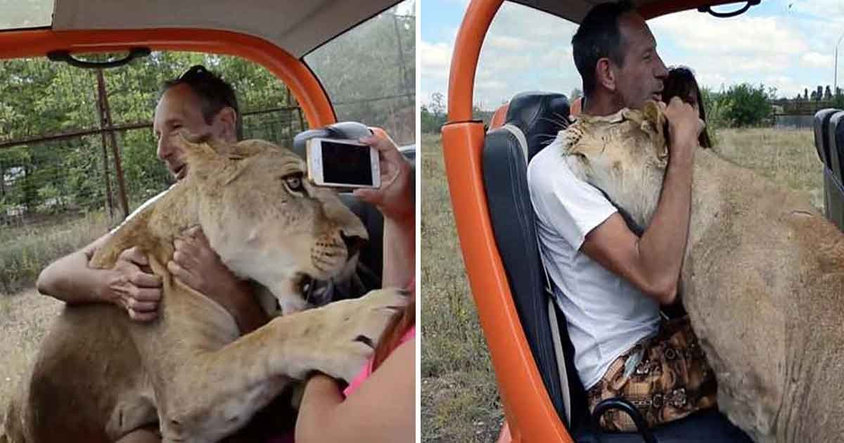 erere.jpg?resize=1200,630 - Video Footage Shows A Lioness Kissing And Hugging A Foolhardy Tourist At A Safari Park In Russia