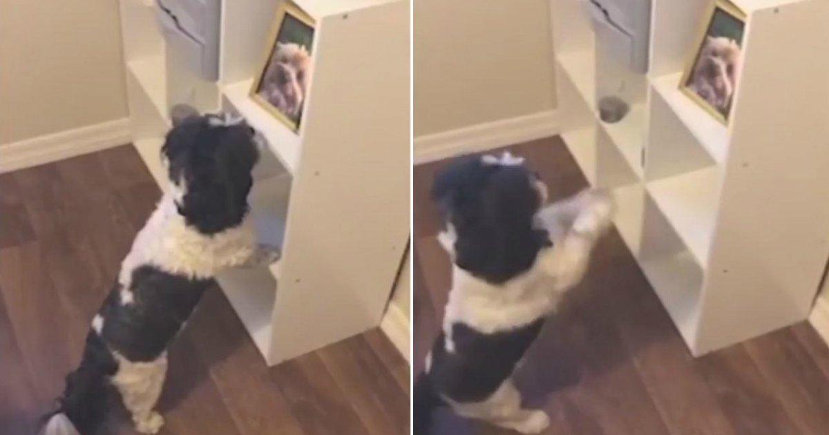 grieving dog.jpg?resize=300,169 - Un chien jette un coup d'oeil à une photo et reconnaît son meilleur ami décédé, sa réaction est déchirante