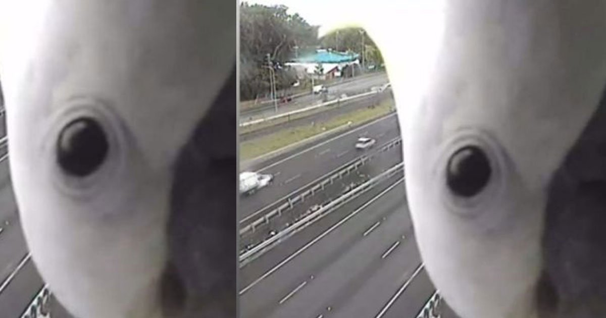 hilarious moment of a cockatoo caught on the police speed camera.jpg?resize=300,169 - Beak-a-boo! The Most Hilarious Traffic Camera Footage You Have Ever Seen!