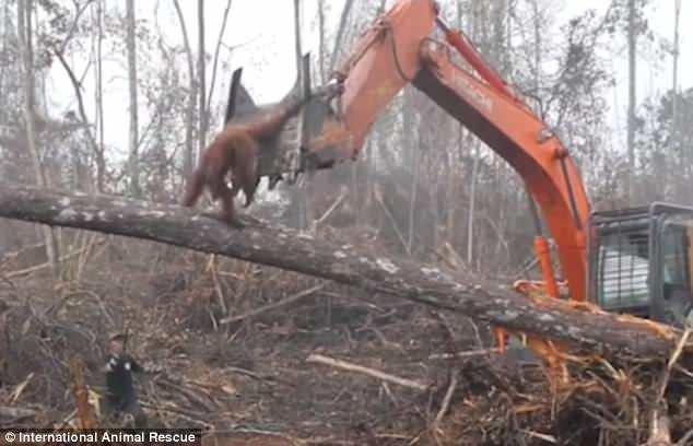 img 5b2ad2ce8774e.png?resize=366,290 - 人類才是最貪婪動物:目睹家園被摧毀,紅毛猩猩衝上前「肉身抵擋怪手」!