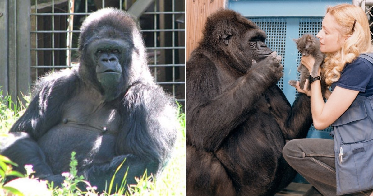 koko the gorilla side.jpg?resize=574,582 - 'Koko The Gorilla' Who Mastered Sign Language Dies In California At The Age Of 46